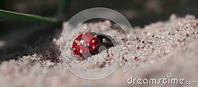 Ladybug on sand