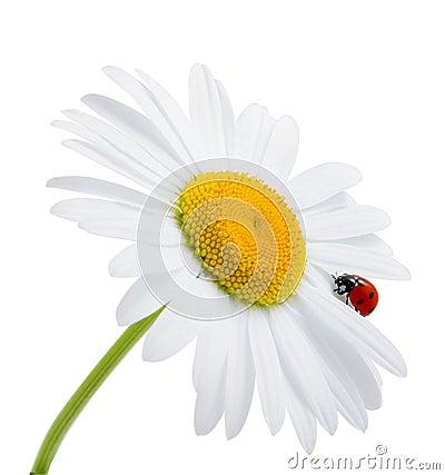 Ladybug is sitting on camomile against sky