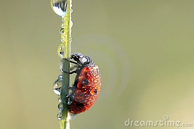 Ladybug in spring with dew drops