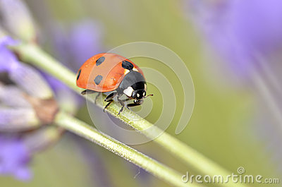 Ladybug on stem of lavenda flower