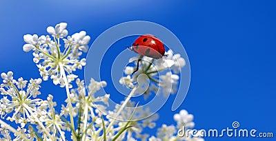 Ladybug on top of a blossom