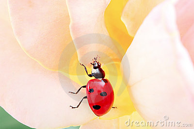 Ladybug vivo nel movimento in una rosa
