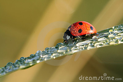Ladybug with water drops