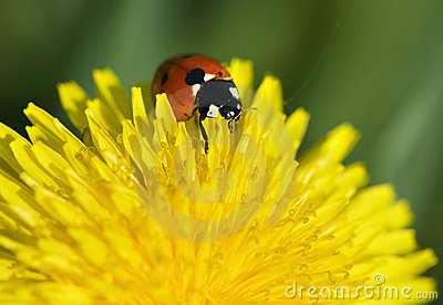Ladybug on yellow dandelion