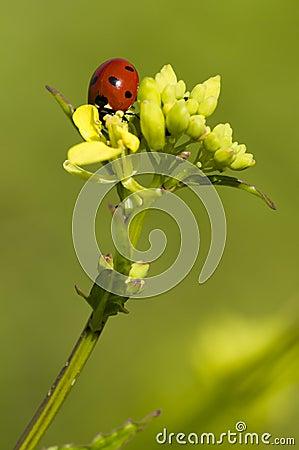 Ladybug on yellow flowers