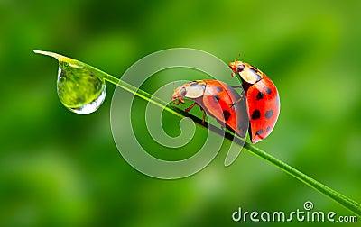 παραγωγή αγάπης ζευγών ladybugs