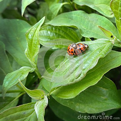 Free Ladybugs Couple On Green Leaf Background Royalty Free Stock Photo - 118358945