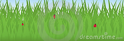 Ladybugs in Grass