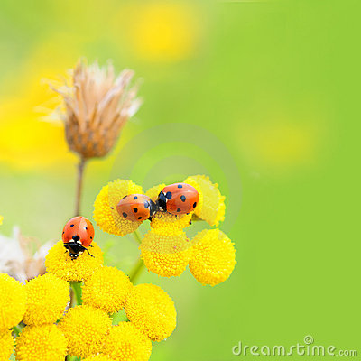 Ladybugs in meadow