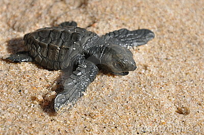 Laether back sea turle hatchling
