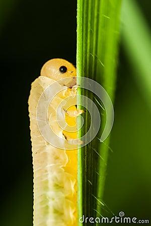 Lagarta que come uma folha da grama