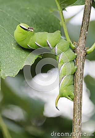 Lagarta verde grande