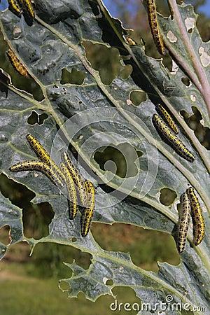 Lagartas que comem a folha vegetal