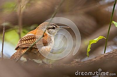 Lagd benen på ryggen gräns för fågel tät hornero upp