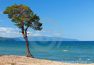 Lake Baikal. Lonely tree