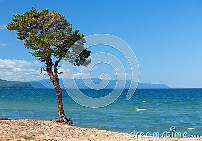 Lake Baikal. Lonely tree
