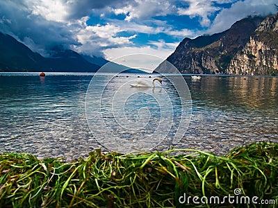 Lake Garda and his swan