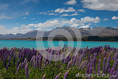 Lake in New Zealand with purple flowers