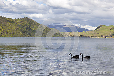 Lake Okareka with black swans