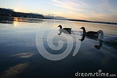 Lake Rotorua Ducks