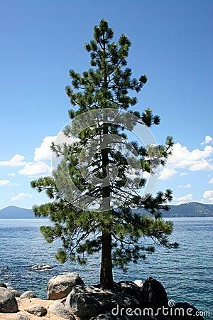 Lake Tahoe Tree