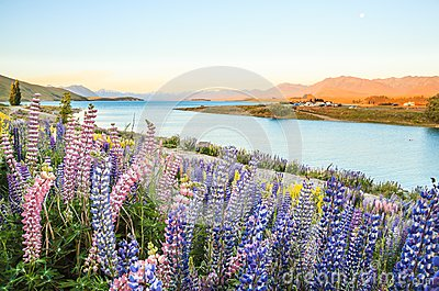 Lake Tekapo Landscape and Lupin Flower Field, New Zealand. Colorful Lupin Flowers in full bloom with background of Lake Tekapo Stock Photo
