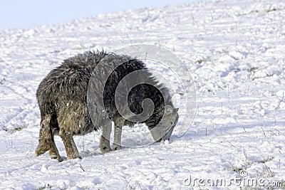 Lakeland Sheep in winter