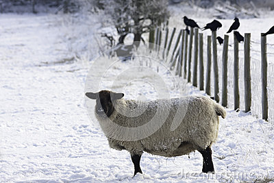 Lakeland Sheep in winter