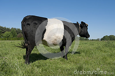 Lakenvelder cow