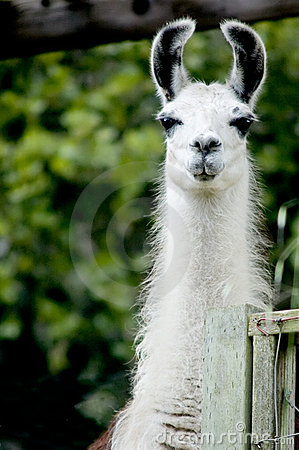 Free Lama Royalty Free Stock Images - 2353109