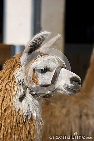 Lama alpacas