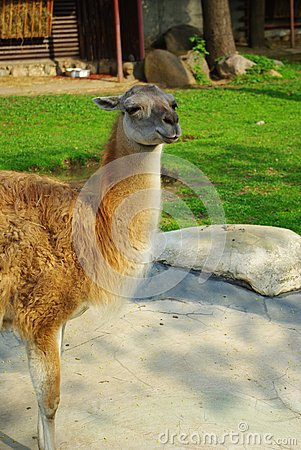 The Lama animal 2