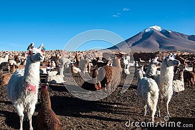 Lama in Bolivia