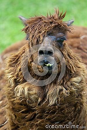 A lama chewing gum