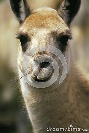 Lama drôle de visage