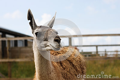 Lama on the farm