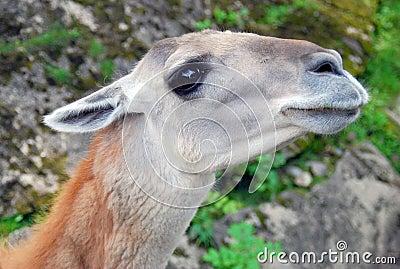 Lama head and neck portrait
