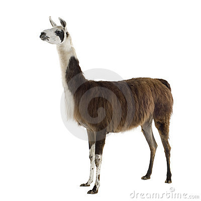 Free Lama - Lama Glama Stock Photo - 3915080
