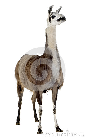 Free Lama - Lama Glama Royalty Free Stock Photo - 3915085
