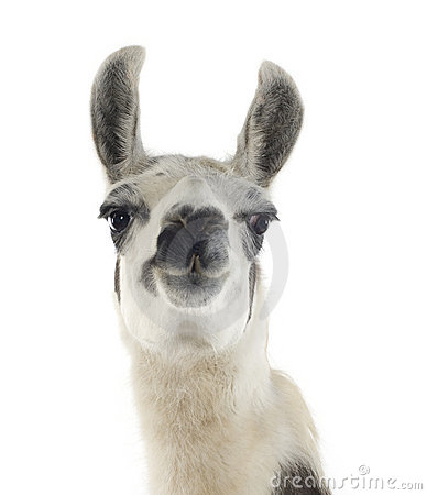 Free Lama - Lama Glama Stock Photos - 3915103