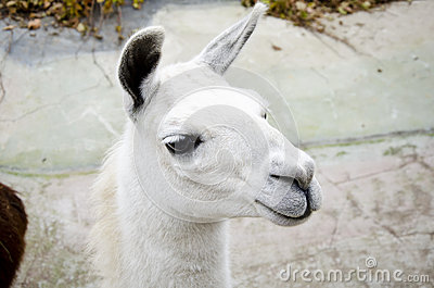 Lama in Moscow Zoo Stock Photo