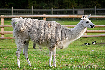 A lama standing in a grassy farm