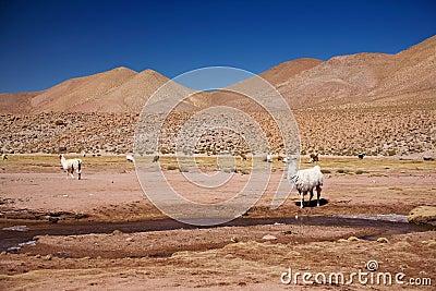 Lamas in Atacama desert