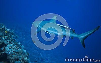 γκρίζος καρχαρίας σκοπέ&lamb