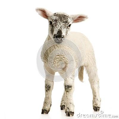 Free Lamb Stock Image - 2306791