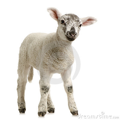 Free Lamb Royalty Free Stock Image - 2306806