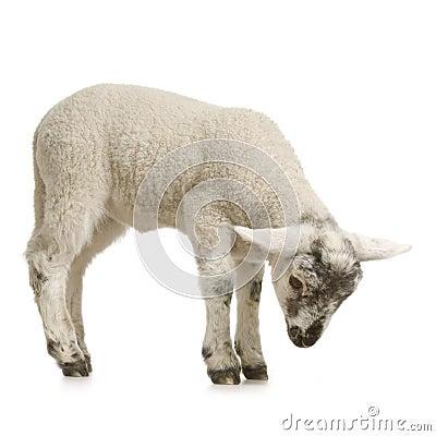 Free Lamb Royalty Free Stock Photos - 2306868