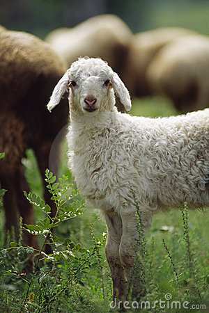 Free Lamb Royalty Free Stock Photo - 4867875