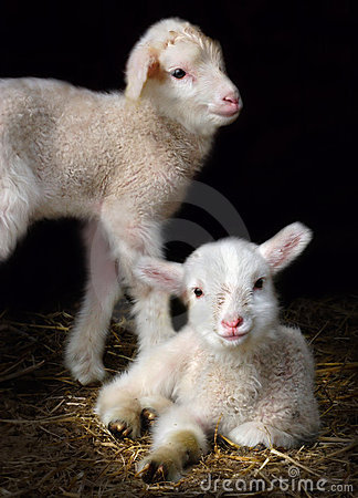 Free Lamb Royalty Free Stock Images - 683919