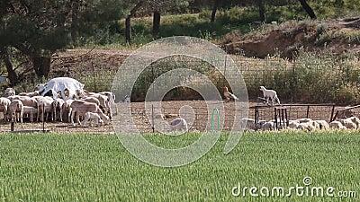 Lamb chases egyptian vulture away, Huerto, Spain stock video